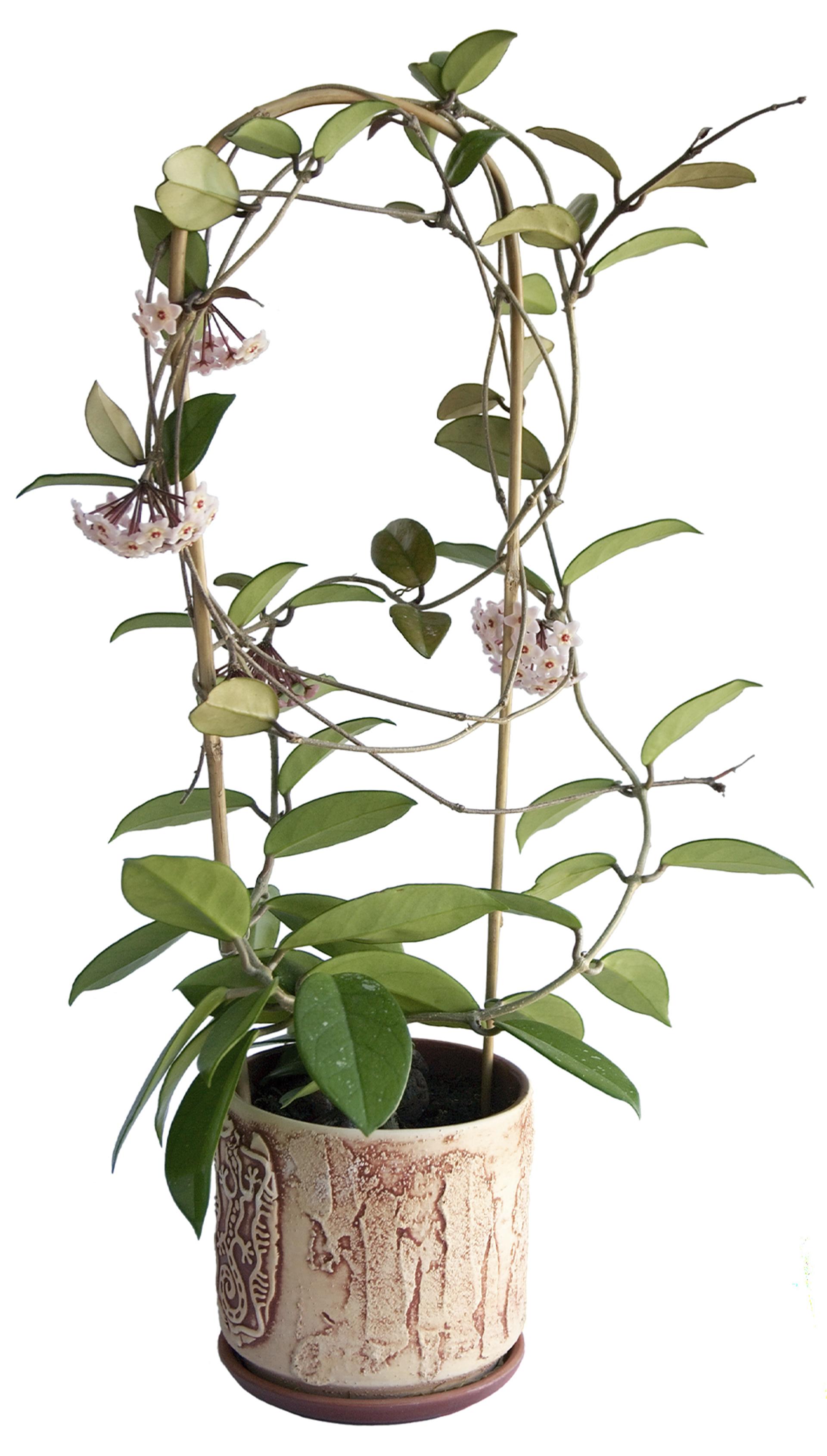 Pipaplantje - Hoya